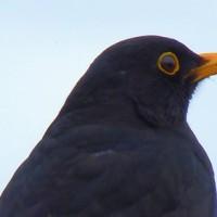 blackbird-cc