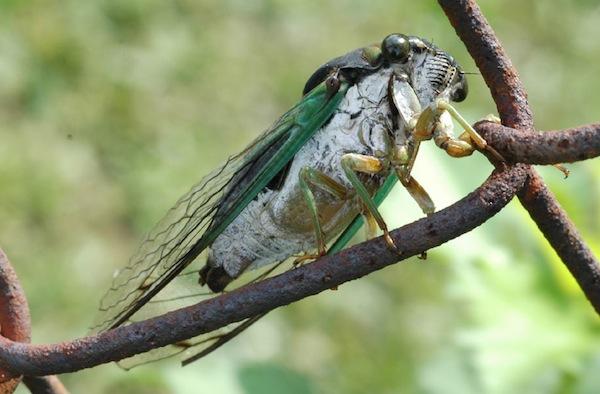 cicada-cc