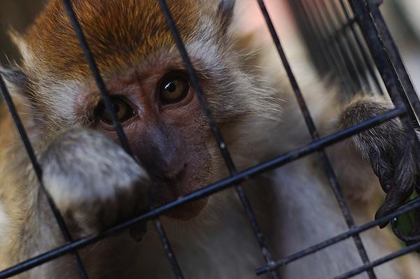 monkey cage1