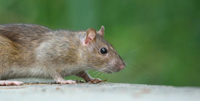 ratter-rat-cc