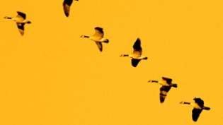 Birds flying in formation