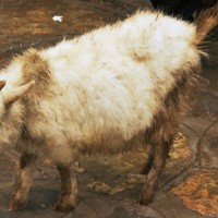 weird-chinese-goat-cc