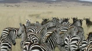 zebras-herd-personalization-cc